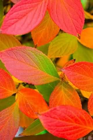 Colorful Leaves Wallpaper HD Android Cards & Casino